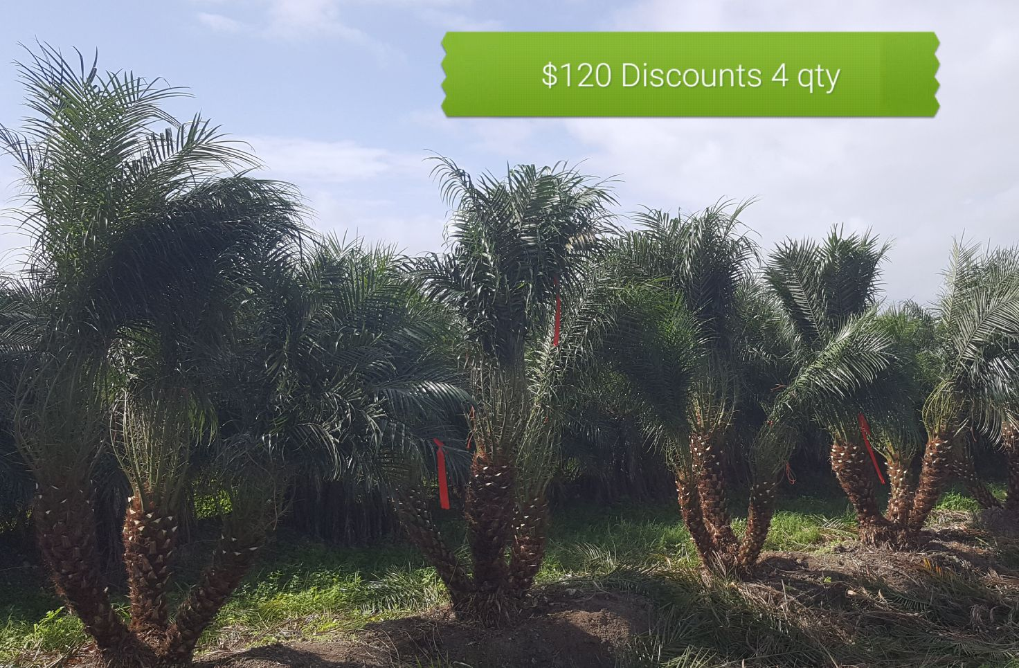 Wholesale Resort Palms Maryland